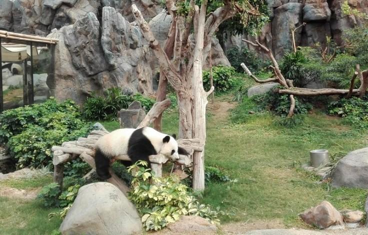 Giant Pandas in Ocean Park, Hong Kong