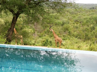 Giraffes by the pool near Kruger