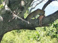 Leopard eating a prey