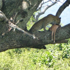 Leopard eating a prey