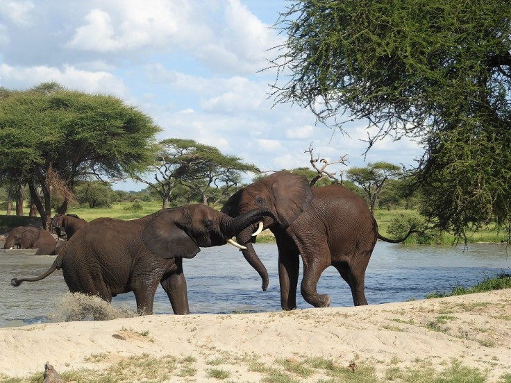Elephants playing at a watering hole in Tanzania