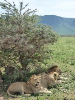 Lions inNgorongoro