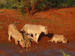 Lions drinking in Pilanesberg