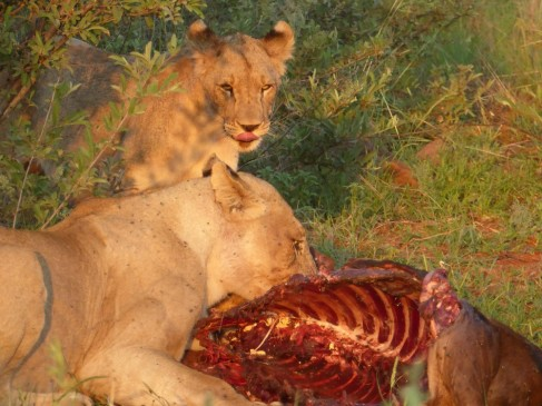 Lions eating a prey