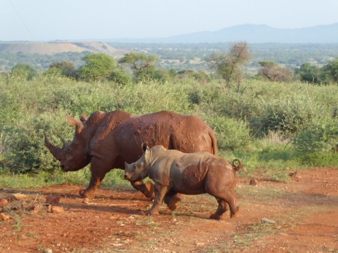 Baby rhino and mother in South africa