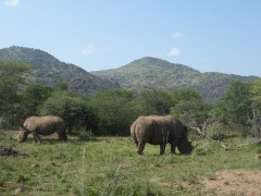 Rhinos during a safari