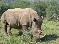 Rhino in Pilanesberg