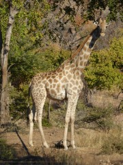 Giraffe in Pilanesberg