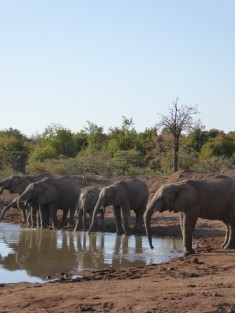elephants in pilanesberg