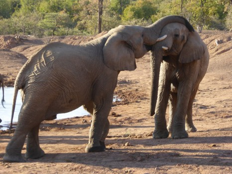 elephants in pilanesberg