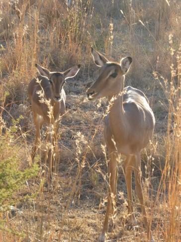 Impalas in Pilanesberg
