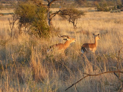 Antelopes during safari in Pilanesberg