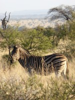Zebra in Pilanesberg