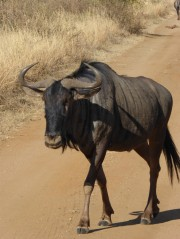 Gnu during safari in Pilanesberg