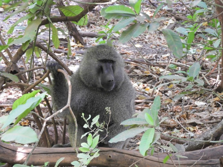 Baboon at Lake Manyara national park