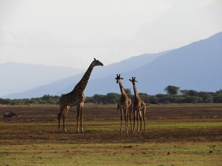 Giraffes at Lake Manyara