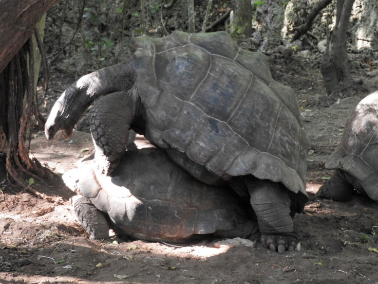 Giant Tortoise mating at Prison Island