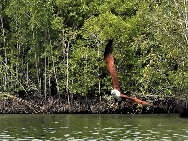 Eagle in Langkawi Kilim Geopark